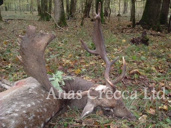 fallow_stag_hunting_in_hungary_05.jpg