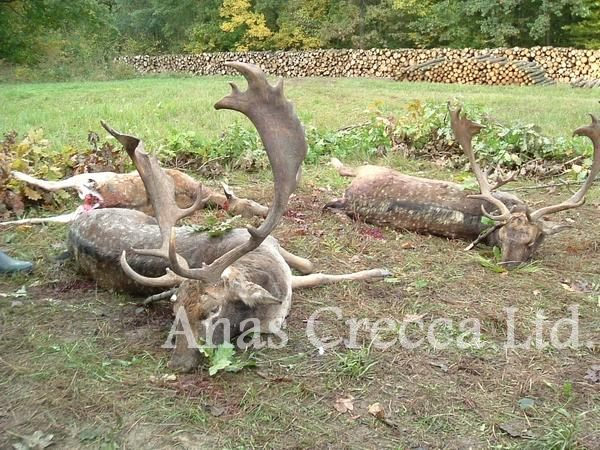 fallow_stag_hunting_in_hungary_06.jpg