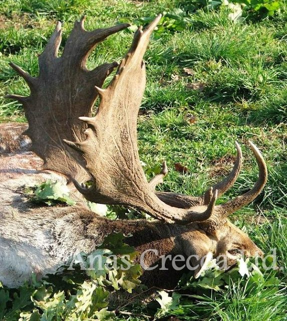 fallow_stag_hunting_in_hungary_10.jpg