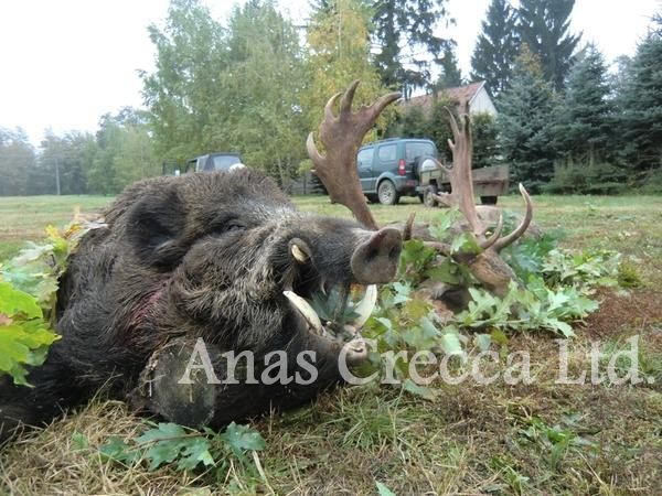 fallow_stag_hunting_in_hungary_13.jpg